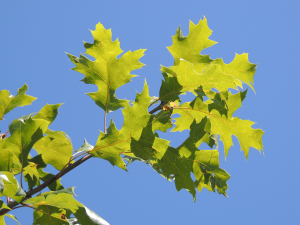 Quercus acerifolia (E.J.Palmer) Stoynoff & Hess