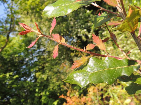 Quercus acutifolia Née