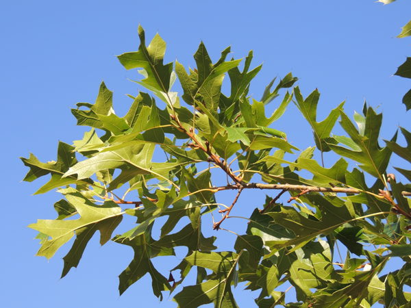 Quercus buckleyi Nixon & Dorr