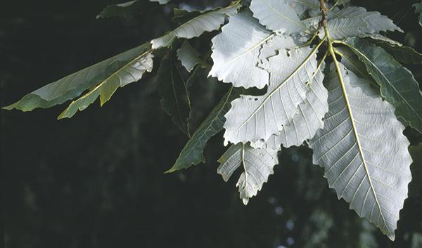 Quercus aliena Blume