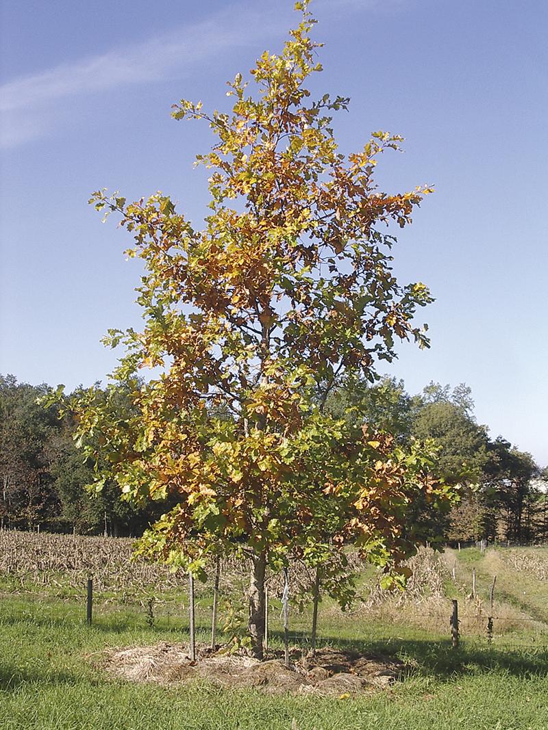 Quercus bicolor Willd.