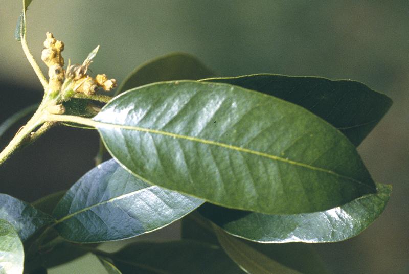 Quercus chrysolepis Liebm.