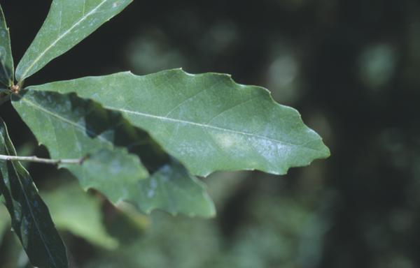 Quercus durata Jepson.