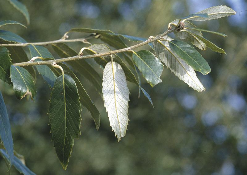 Quercus leucotrichophora A.Cam.