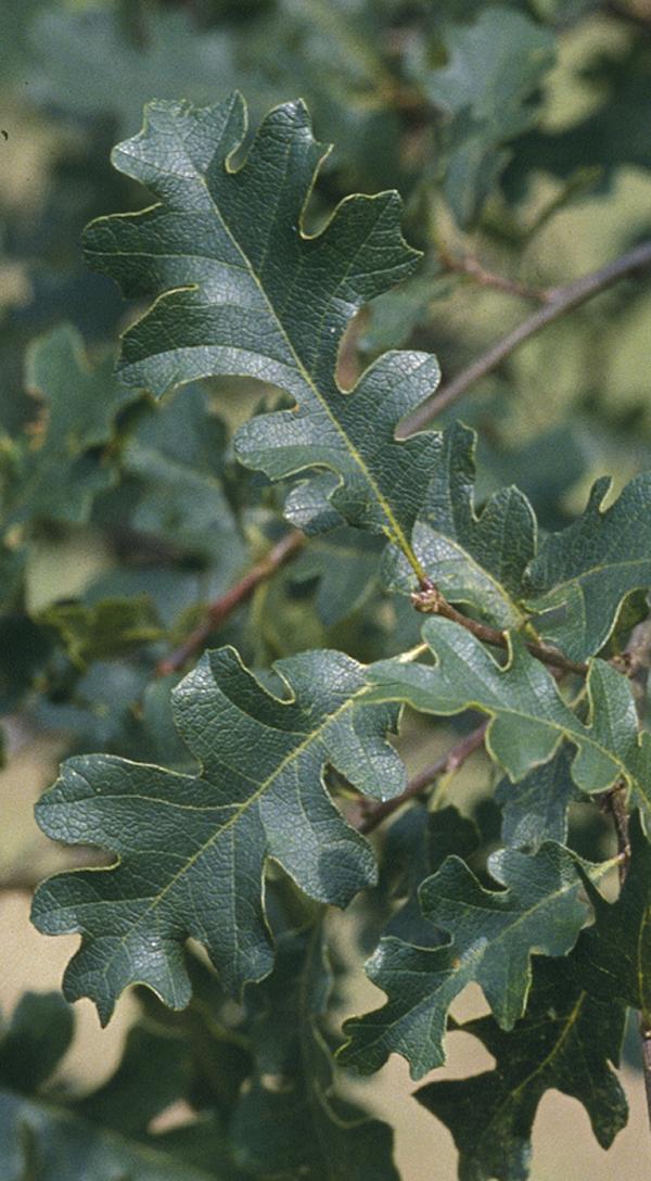 Quercus lobata Oliv.