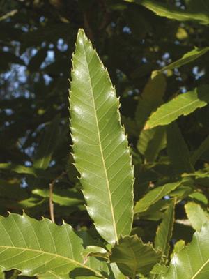 Quercus acutissima Carruth.