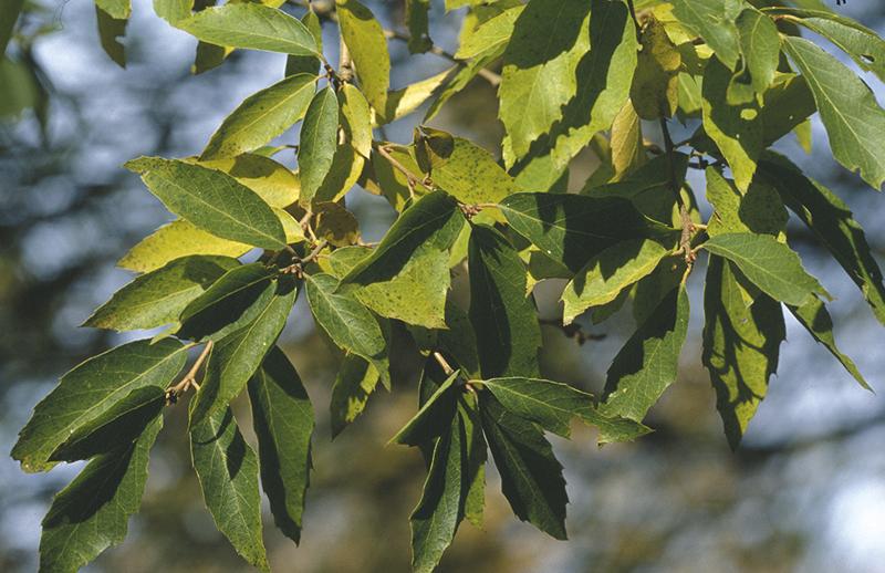 Quercus baronii Skan.