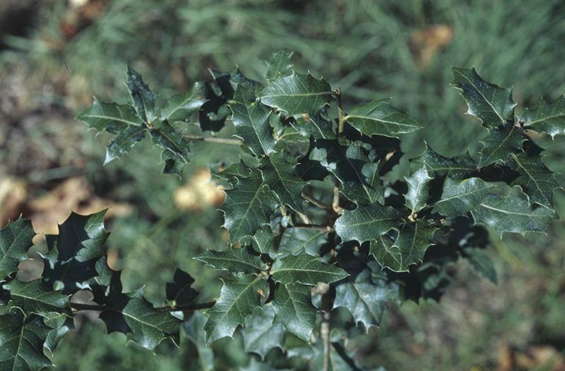 Quercus calliprinos Webb.