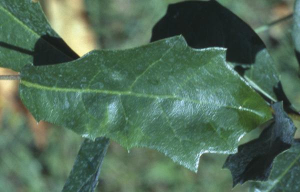 Quercus chapmanii Sarg.