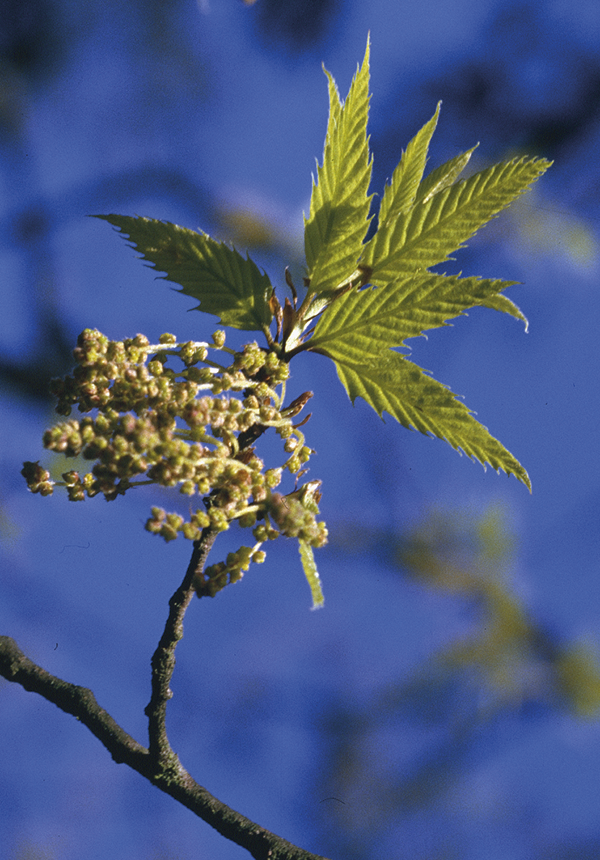 Quercus libanii G. Olivier