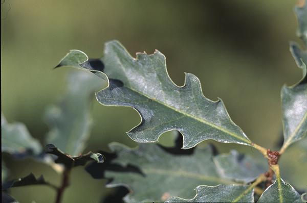 Quercus x undulata Torr.