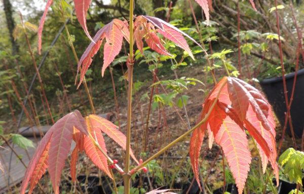 Acer elegantulum W.P.Fang & P.L.Chiu