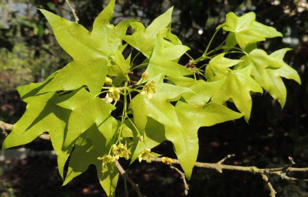 Acer pictum Thunb.