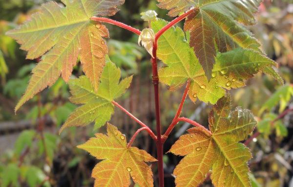 Acer caudatum subsp. ukurundense (Trautv. & C.A.Mey.) E.Murray