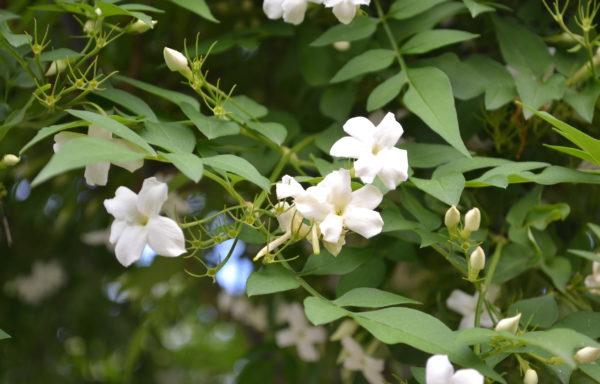 Jasminum officinale L.