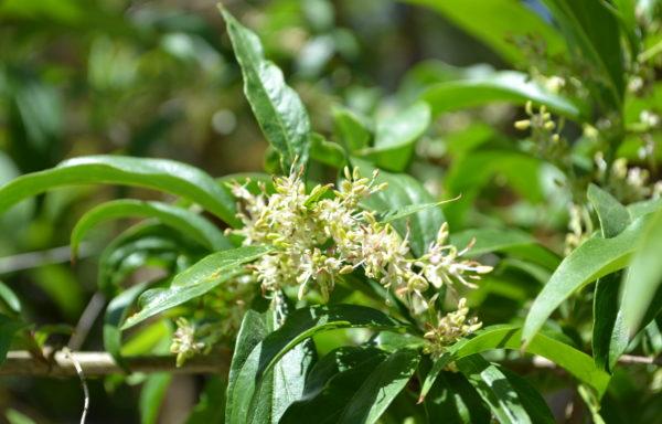 Fontanesia fortunei Carrière