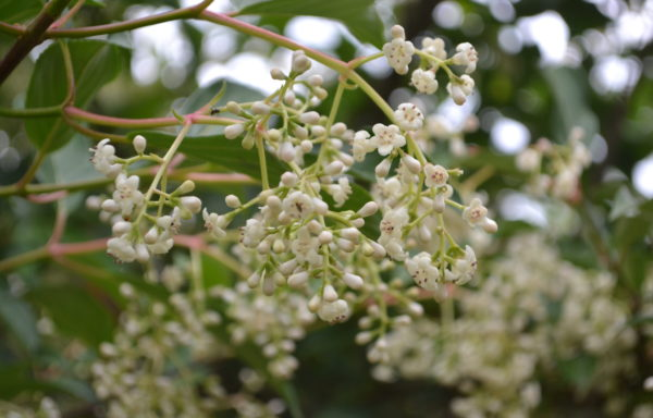 Viburnum × hillieri Stearn 'Winton'