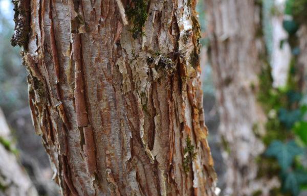 Acer triflorum Komarov
