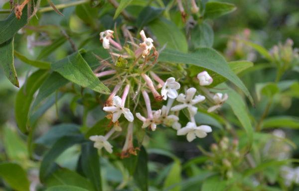 Abelia mosanensis I.C.Chung ex Nakai