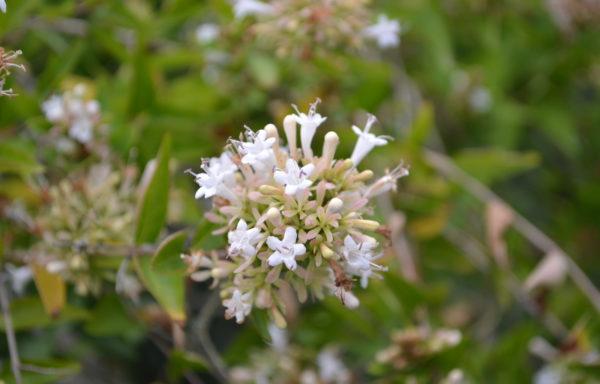 Abelia chinensis R.Br.