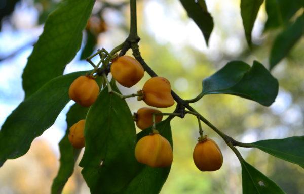 Euonymus myrianthus Hemsl.
