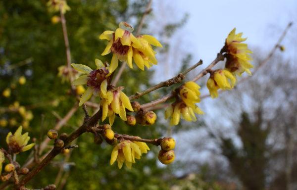 Chimonanthus praecox (L.) Link. 'Grandiflorus'