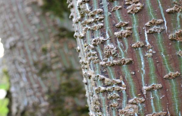 Acer rubescens Hayata