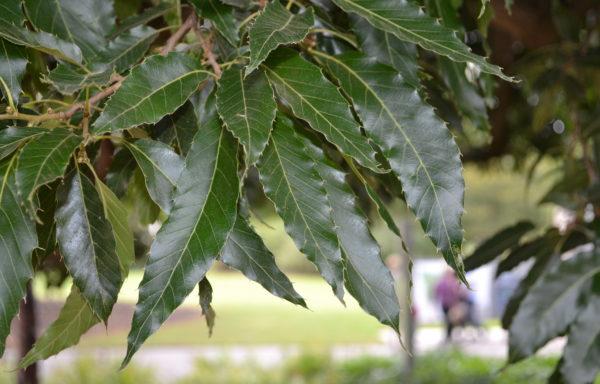 Quercus chenii Nakai