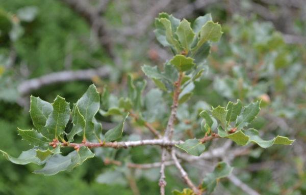 Quercus berberidifolia Liebm.