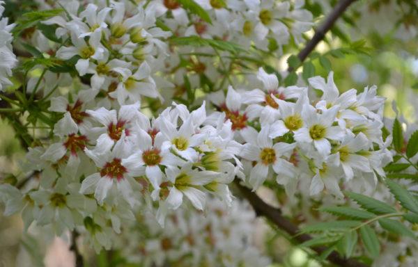 Xanthoceras sorbifolium Bunge