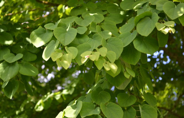 Cercidiphyllum japonicum Siebold & Zucc. ex J.J.Hoffm. & J.H.Schult.bis