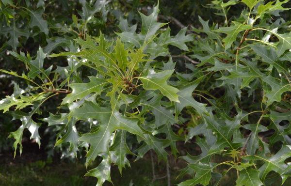 Quercus coccinea Münchh.