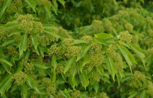 Acer buergerianum Miquel