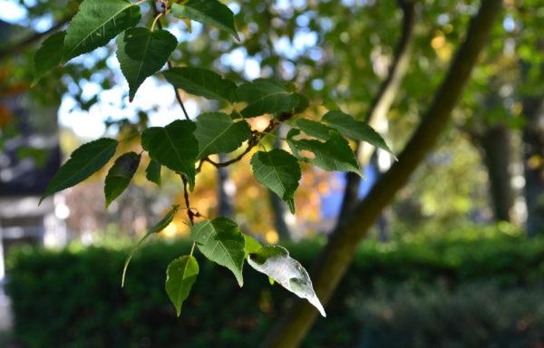 Acer crataegifolium Siebold & Zucc.