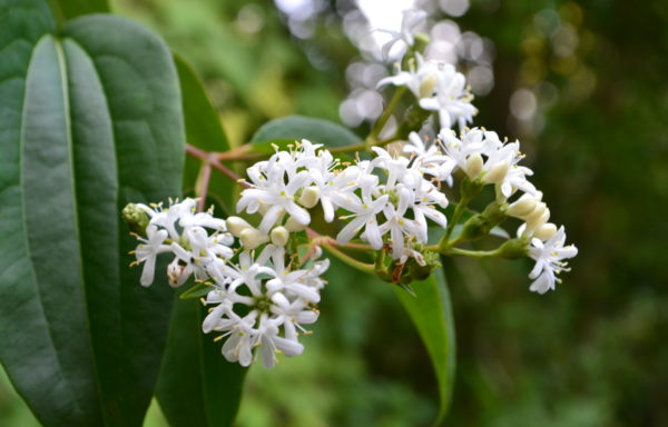 Heptacodium miconioides Rehder