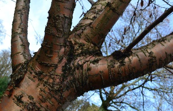 Prunus maackii Rupr. 'Amber beauty'