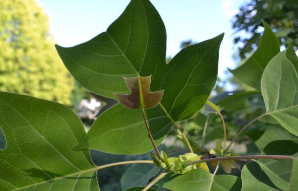 Liriodendron chinense (Hemsl.) Sarg.