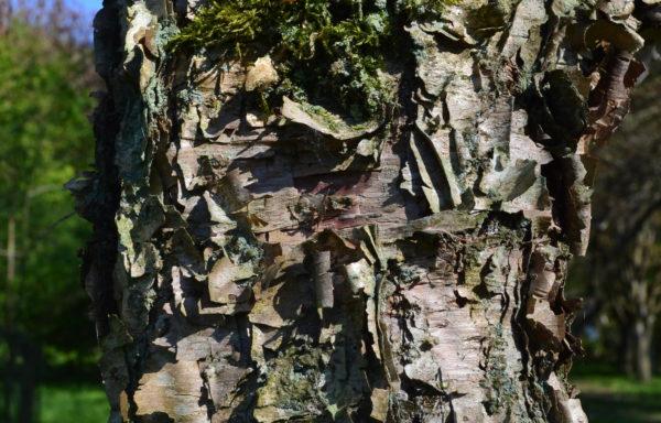 Betula dahurica Pall.