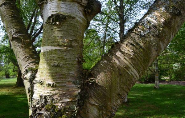 Betula maximowicziana Regel.