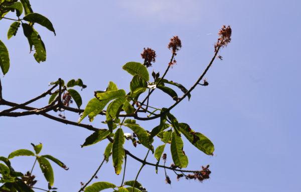 Aesculus chinensis var. wilsonii (Rehder) Turland & N.H.Xia