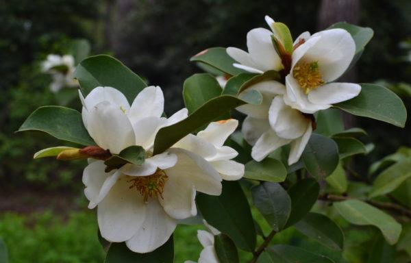 Magnolia yunnanensis (Hu) Noot.