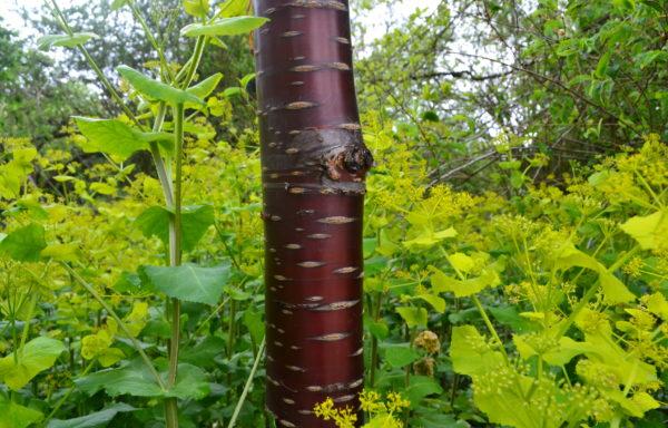 Prunus serrula Franch.