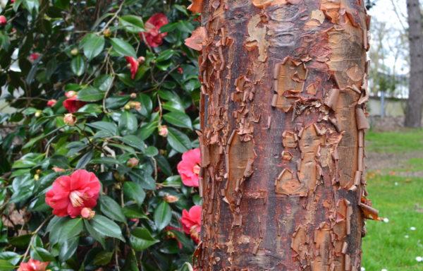 Acer griseum (franchet) Pax