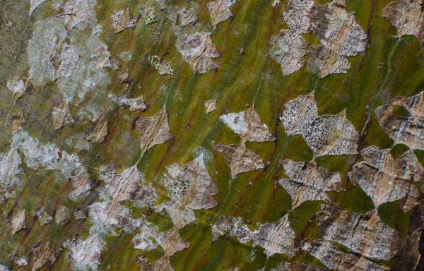 Acer capillipes Maximowicz