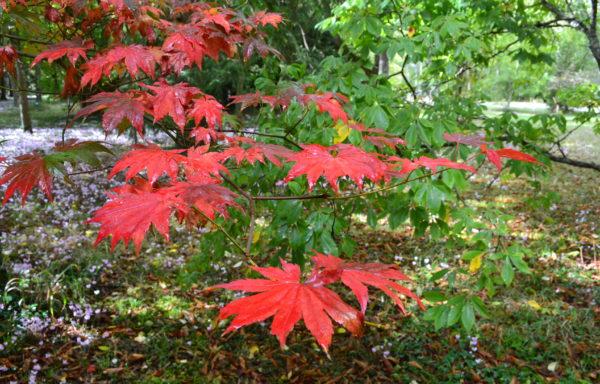 Acer pseudo-sieboldianum (Pax.) Komar.