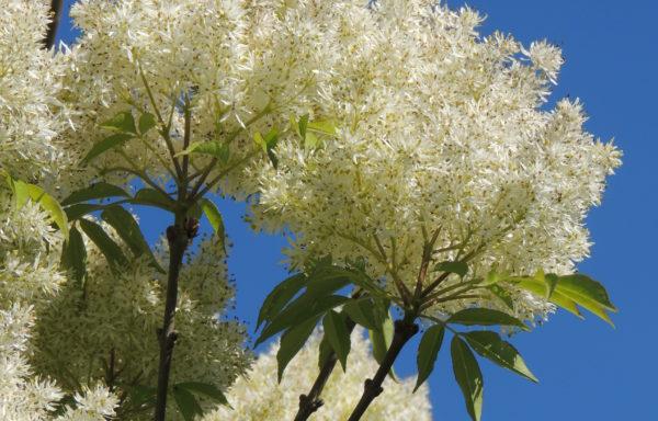 Fraxinus sieboldiana Blume
