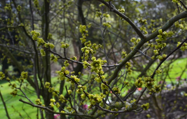 Lindera benzoin (L.) Blume