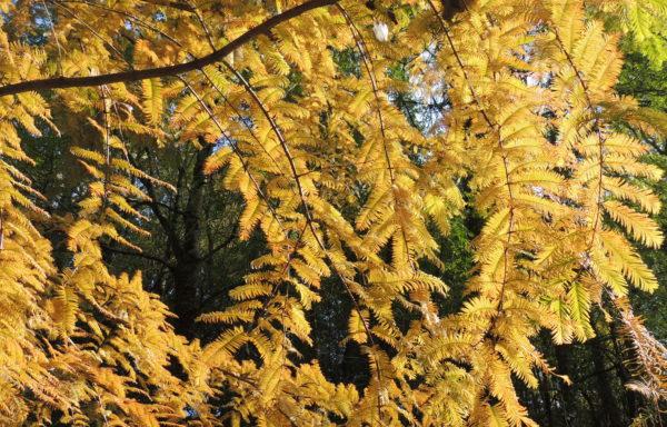 Metasequoia glyptostroboides Hu. & Cheng.