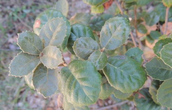 Quercus alnifolia Poech