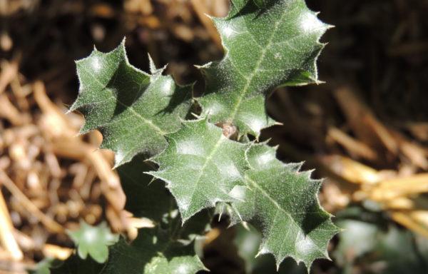 Quercus aucheri Jaub. & Spach.